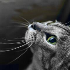 猫/目/大きな/見上げる/うちの子ベストショット 目がクリクリでいつも出迎えてくれる、すみ…