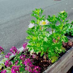 植物のある暮らし/パレットガーデン/DIY/暮らし いい天気☀️です! お花達も気持ち良さそ…