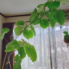 ウンベラータ/植物のある暮らし/暮らし 今年もウンベさんがすくすく成長しました✨…