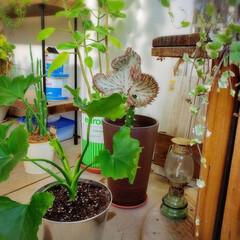 植物のある暮らし/小屋/田舎暮らし/DIY/暮らし おはようございます✨ 今朝のGREEN達…
