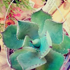 植物のある暮らし/アガベ/小屋/DIY/暮らし こんばんは😃 ずっとずっと欲しかったアガ…