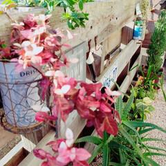 植物のある暮らし/パレットガーデン/セリア/DIY こんにちは👋 初雪カズラが真っ赤になって…