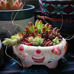 多肉植物寄せ植え/多肉植物/ダイソーミルクペイント/セリアリメイク 多肉植物寄せ植え