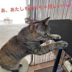 保護猫/しあわせ/ねこ/猫大好き/LIMIAペット同好会/住まい/... だからそれおもちゃじゃなくて布巾だからや…