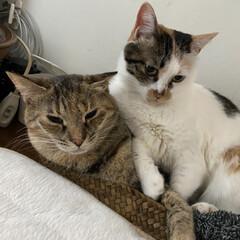 保護猫/しあわせ/ねこ/猫大好き/LIMIAペット同好会 アヤメさんは優しいので、サツキに乗っから…