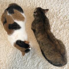 保護猫/ねこ/しあわせ/猫大好き/LIMIAペット同好会/住まい/... アヤメちゃんとサツキちゃんは体型がだいぶ…