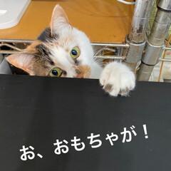 保護猫/しあわせ/ねこ/猫大好き/LIMIAペット同好会/住まい/... サツキちゃん、それはおもちゃじゃないよ😓…