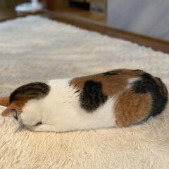 保護猫/しあわせ/ねこ/猫大好き/LIMIAペット同好会 なんだかサツキちゃんが箸置きみたいな形で…(2枚目)