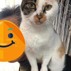 保護猫/しあわせ/ねこ/猫大好き/LIMIAペット同好会/住まい/... 小さい頃から肩乗り猫のサツキさん。しっか…