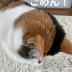 保護猫/しあわせ/ねこ/猫大好き/LIMIAペット同好会/ホットカーペット/... サツキちゃんのごめん寝🥰