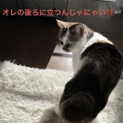 保護猫/しあわせ/ねこ/猫大好き/LIMIAペット同好会/住まい/... 今朝のサツキちゃんはなかなか凄みがありま…