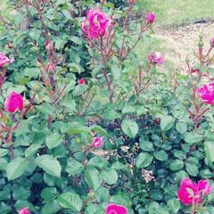 薔薇 可児花フェスタ公園の薔薇🌹です。(9枚目)