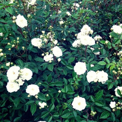 薔薇 可児花フェスタ公園の薔薇🌹です。(2枚目)