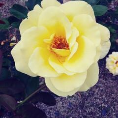薔薇 可児花フェスタ公園の薔薇🌹です。(10枚目)