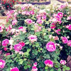 薔薇 可児花フェスタ公園の薔薇🌹です。(4枚目)