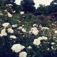 薔薇 可児花フェスタ公園の薔薇🌹です。(7枚目)