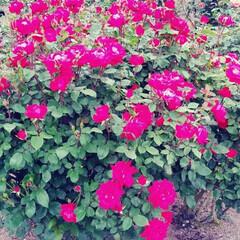 薔薇 可児花フェスタ公園の薔薇🌹です。(5枚目)