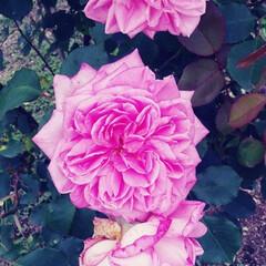 薔薇 可児花フェスタ公園の薔薇🌹です。(8枚目)