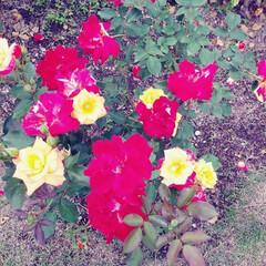 薔薇 可児花フェスタ公園の薔薇🌹です。(3枚目)