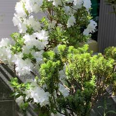 庭のツツジ 今咲いている庭のツツジです! 濃いオレン…(4枚目)