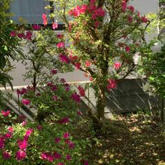 庭のツツジ 今咲いている庭のツツジです! 濃いオレン…(7枚目)