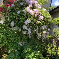 庭のツツジ 今咲いている庭のツツジです! 濃いオレン…(6枚目)