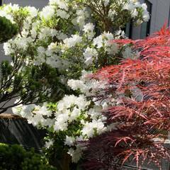 庭のツツジ 今咲いている庭のツツジです! 濃いオレン…(3枚目)
