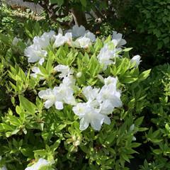 庭のツツジ 今咲いている庭のツツジです! 濃いオレン…(2枚目)