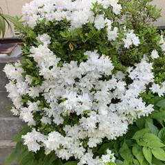庭のツツジ 今咲いている庭のツツジです! 濃いオレン…(5枚目)