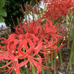 真紅/曼珠沙華/シジミチョウ 庭の彼岸花が綺麗に咲いていました😍 白の…
