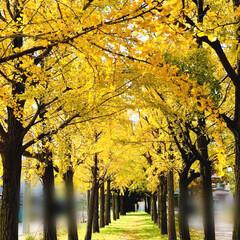 公園/風景/景色/黄金色/イチョウ並木/暮らし/... 近所の公園😁🎶🎶 一瞬で歩き終わるほど短…