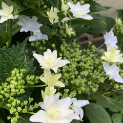 うちのネコ/紫陽花 6月の花🌸紫陽花が咲きだしました(*^^…(1枚目)