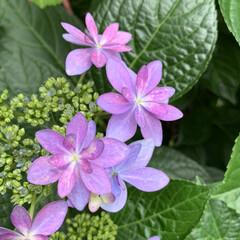 うちのネコ/紫陽花 6月の花🌸紫陽花が咲きだしました(*^^…(2枚目)