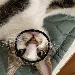 やんちゃなニャンコ/うちの猫 髪結ぶゴムで遊んでいたらこうなりました😂…(4枚目)