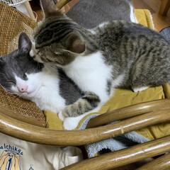 我が家のにゃんこ達 いつも寝ているジュジュに飛びかかって邪魔…(1枚目)