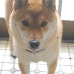 一眼レフカメラ/わんこ同好会/柴犬 久々に一眼レフカメラで撮影しました。 も…