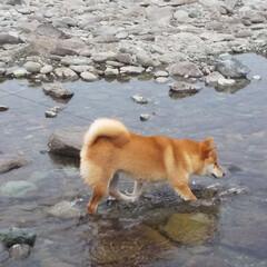 夏の田舎遊び/わんこのいる生活/柴犬大好き/川デビュー/川遊び/おでかけフォト 愛犬もみじ(♀)を連れて川遊びに来ました…