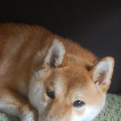 昼寝タイム/柴犬大好き/柴犬/わんこ大好き/わんこ同好会/おうち時間/... 今日の愛犬もみじ♀です。 最近テーブルの…