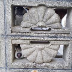 柴犬/散歩/わんこ/わんこ同好会 近所のわんこ達です。 3匹はいるようです…