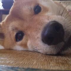 わんこのいる暮らし/柴犬かわいい/わんこ大好き/お昼寝タイム/おうち時間 愛犬もみじ(♀)です。 エアコンのきいた…