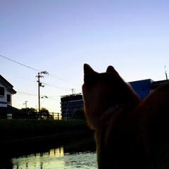早起き/わんこのいる暮らし/柴犬女の子/わんこ大好き/朝焼けの空/お散歩大好き/... 早起きして朝焼けを見に散歩しました。 愛…