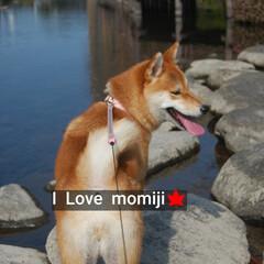 わんこのいる暮らし/柴犬大好き/柴犬/散歩/お出かけ/一眼レフカメラ 今日の愛犬もみじ(♀)です。 天気が良か…(1枚目)