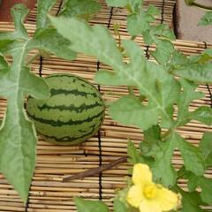 小玉すいか/姫山笠/西瓜/ガーデニング/西瓜の種 やっと  西瓜らしくなってきました。次か…