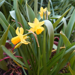 花/ガーデニング ミニ水仙咲きました。次はさくらんぼの花が…(1枚目)