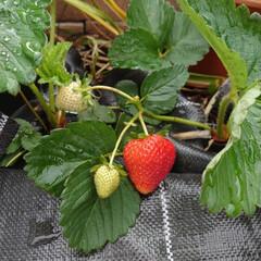 ガーデニング/収穫/苺 我が家の苺です。5粒くらいしかなってない…