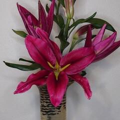 ガーデニング/花/カサブランカ 今年も咲いてくれました。  こちらは梅雨…(1枚目)