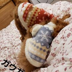トイプードルの女の子/ペット同好会/ペットと暮らす/ペット雑貨/ペットと暮らす家「house-zoo」/ダイソー/... 寒くなってきたので、モコモコルームウェア…