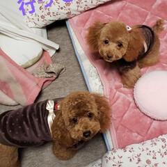 トイプードル部/ペットと暮らす家「house-zoo」/フォロー大歓迎 2ヶ月ぶりのトリミングです! めいちゃん…