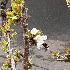 さくら/遅い春 てっぺんの花が咲いたよ🌸 さっそく🐝が遊…