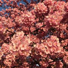 ピンク 河津桜🌸 満開です♡  #ピンク #河津…
